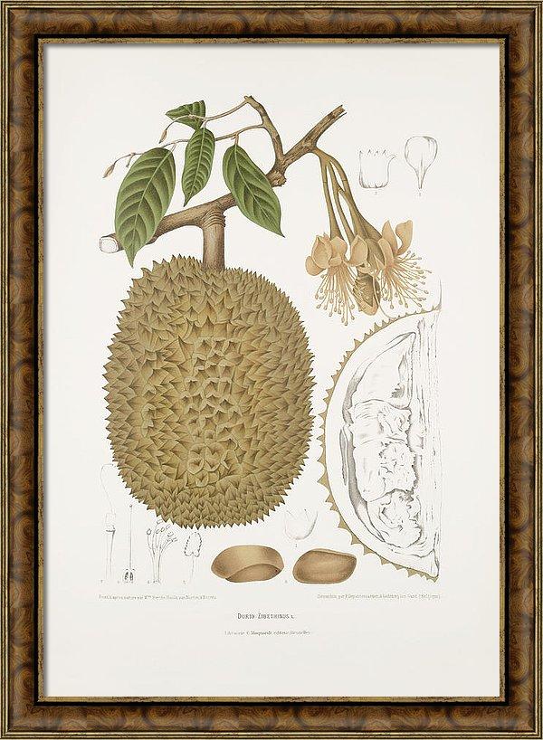 vintage-botanical-illustrations-durian-madame-berthe-hoola-van-nooten