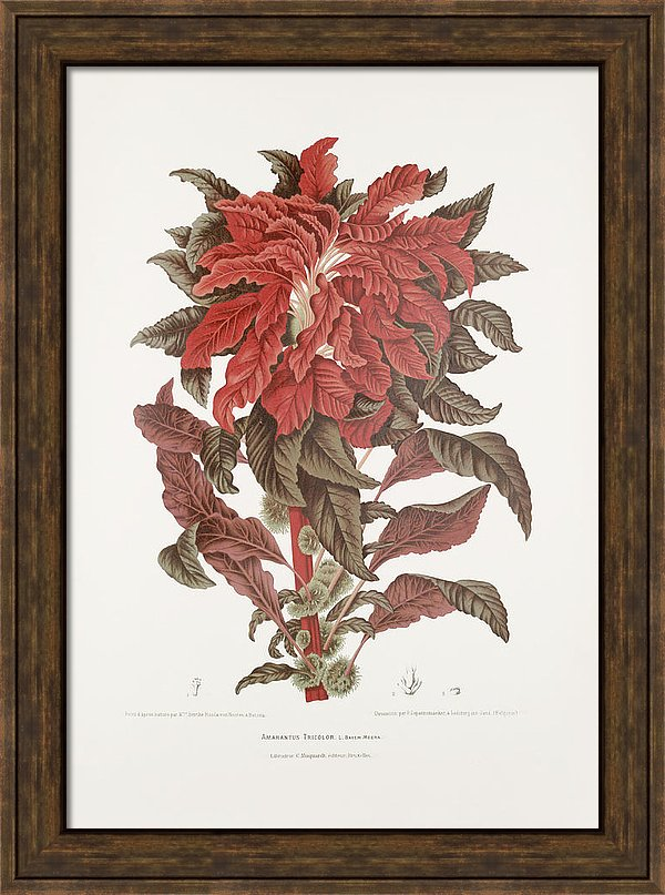 vintage-botanical-illustrations-edible-amaranth-madame-berthe-hoola-van-nooten