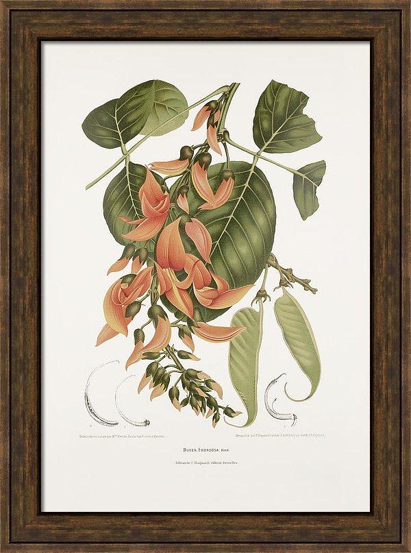 vintage-botanical-illustrations-flame-of-the-forest-madame-berthe-hoola-van-nooten