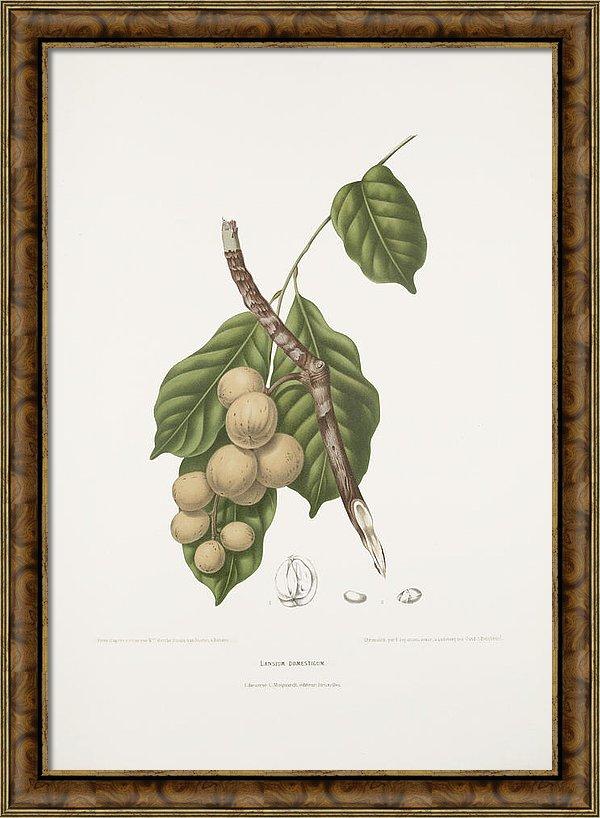 vintage-botanical-illustrations-mahogany-tree-moira-risen