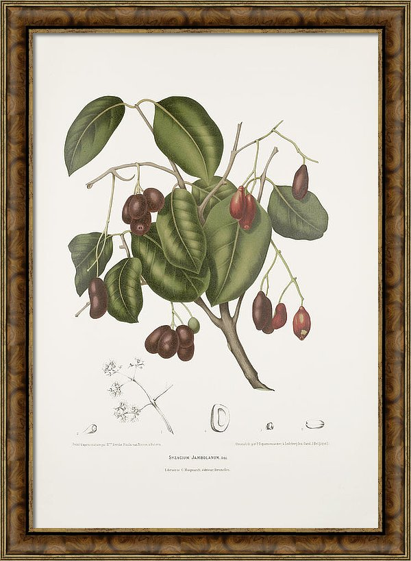 vintage-botanical-illustrations-malabar-plum-tree-madame-berthe-hoola-van-nooten