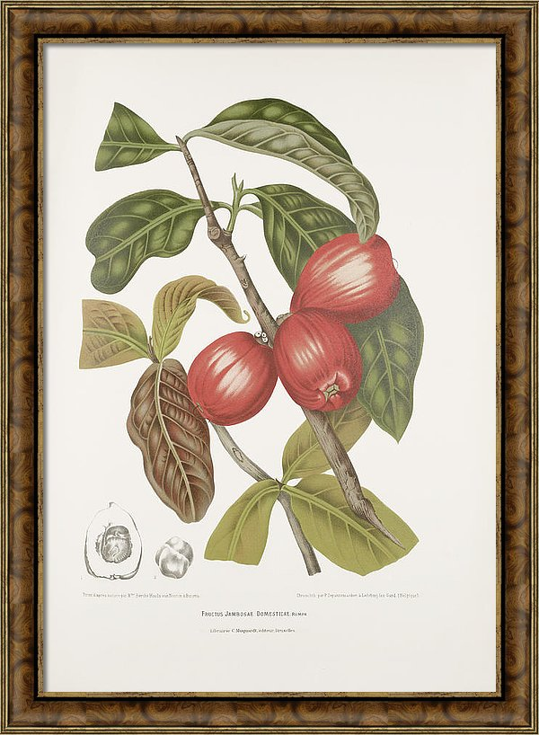 vintage-botanical-illustrations-malay-rose-apple-fruits-madame-berthe-hoola-van-nooten