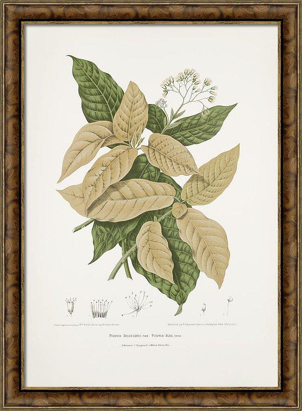 vintage-botanical-illustrations-moluccan-cabbage-and-lettuce-tree-madame-berthe-hoola-van-nooten