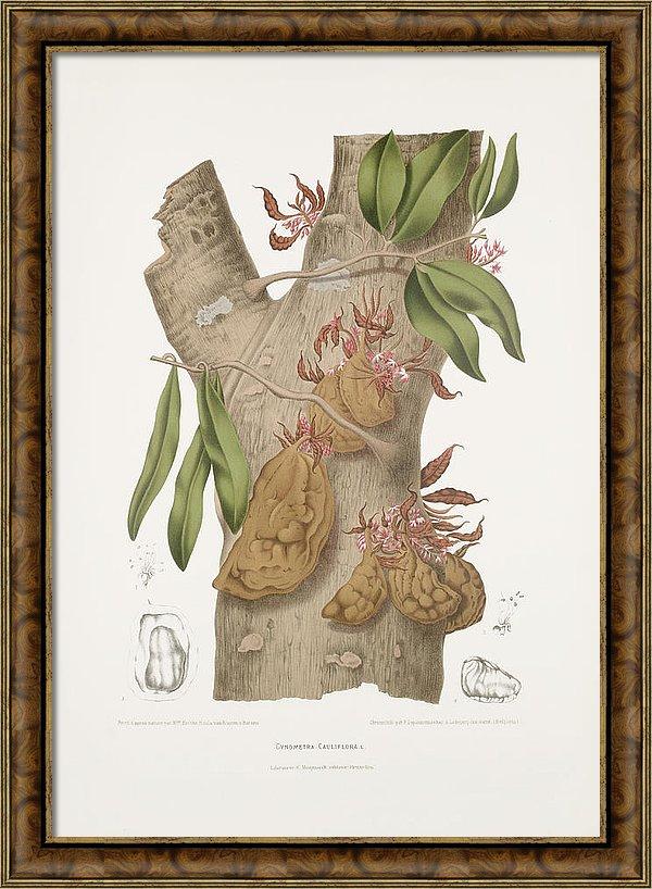 vintage-botanical-illustrations-namu-namu-tree-madame-berthe-hoola-van-nooten