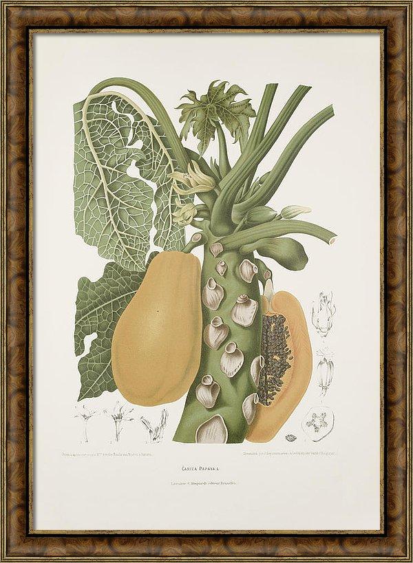 vintage-botanical-illustrations-papaya-madame-berthe-hoola-van-nooten