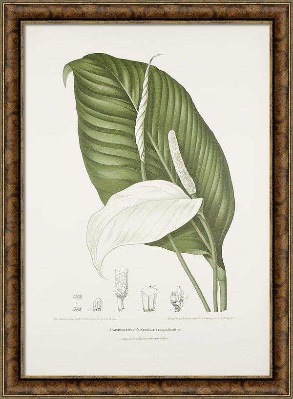 vintage-botanical-illustrations-peace-lily-madame-berthe-hoola-van-nooten