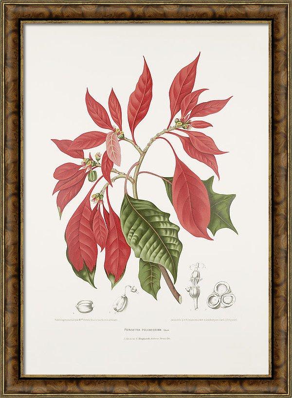 vintage-botanical-illustrations-poinsettia-madame-berthe-hoola-van-nooten