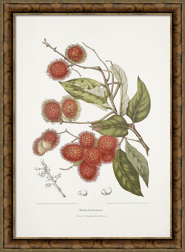 vintage-botanical-illustrations-rambutan-tree-madame-berthe-hoola-van-nooten