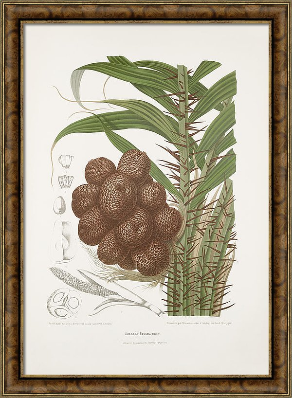 vintage-botanical-illustrations-salak-palm-tree-madame-berthe-hoola-van-nooten