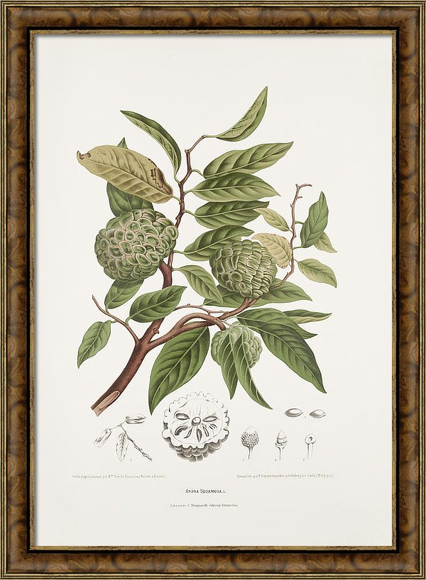 vintage-botanical-illustrations-sugar-apple-tree-madame-berthe-hoola-van-nooten