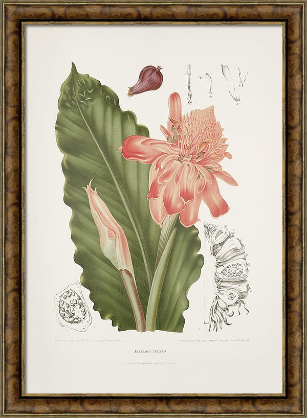 vintage-botanical-illustrations-torch-ginger-madame-berthe-hoola-van-nooten
