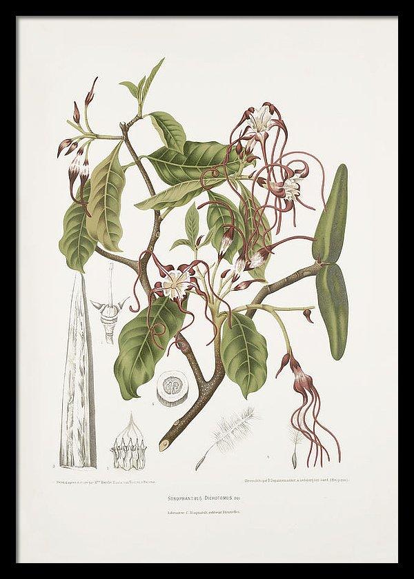 vintage-botanical-illustrations-twisted-flower-madame-berthe-hoola-van-nooten