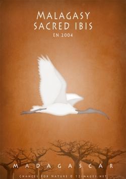 endangered-sacred-ibis-of-Madagascar