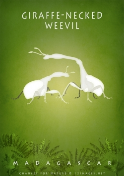 giraffe-weevil-male-female-Madagascar