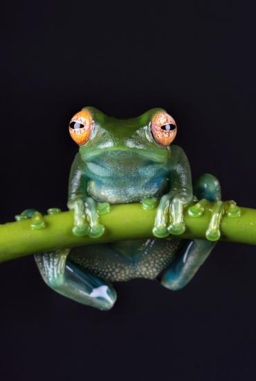 malagasy-green-tree-frog-madagascar