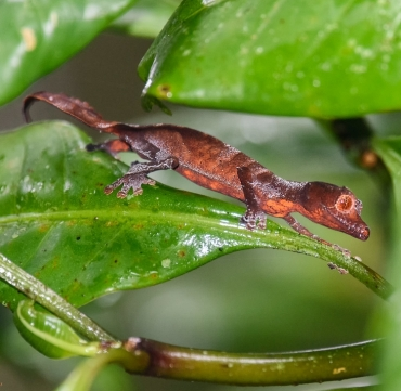 satanic-leaf-tailed-gecko-madagascar-wildlife
