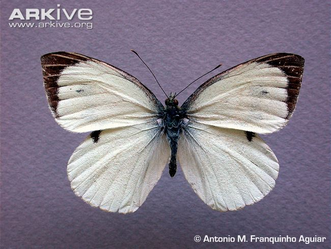 male Madeiran large white