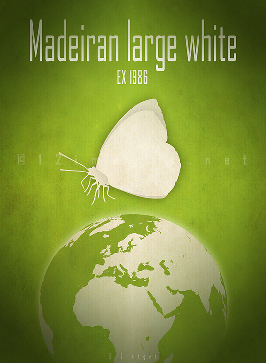 madeiran-large-white-butterfly