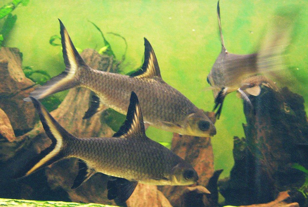 Balantiocheilos-melanopterus-aquarium
