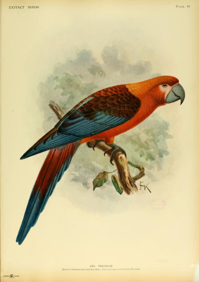 Cuban-red-macaw-Caribbean-islands-ara-tricolor