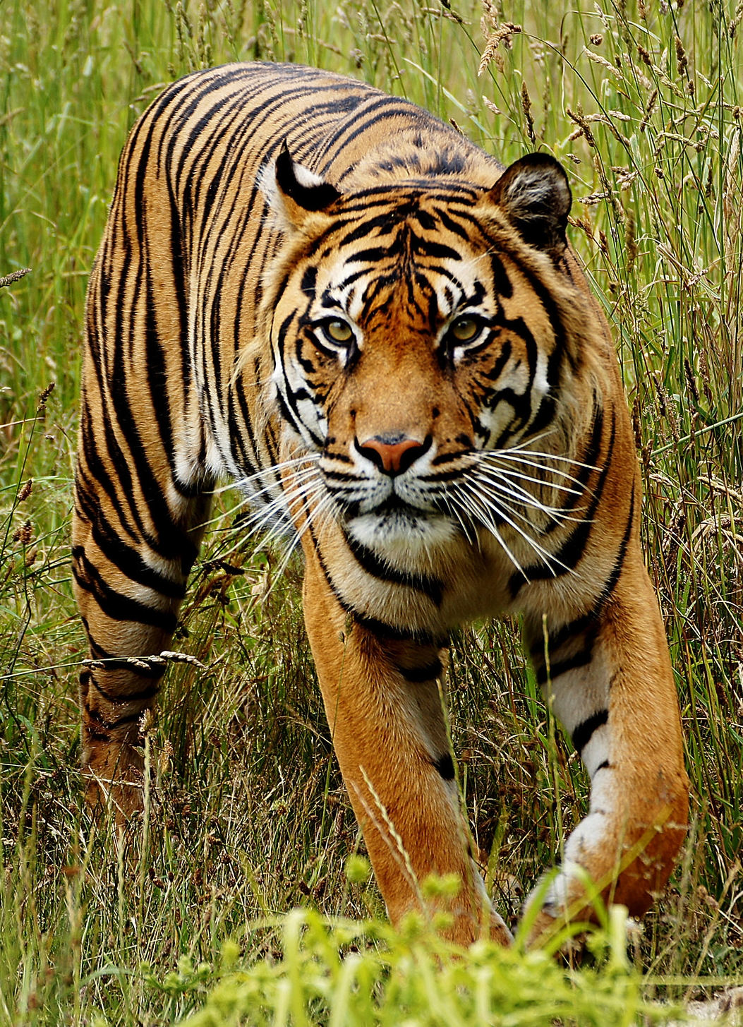 critically endangered sumatran tiger Panthera tigris sondaica