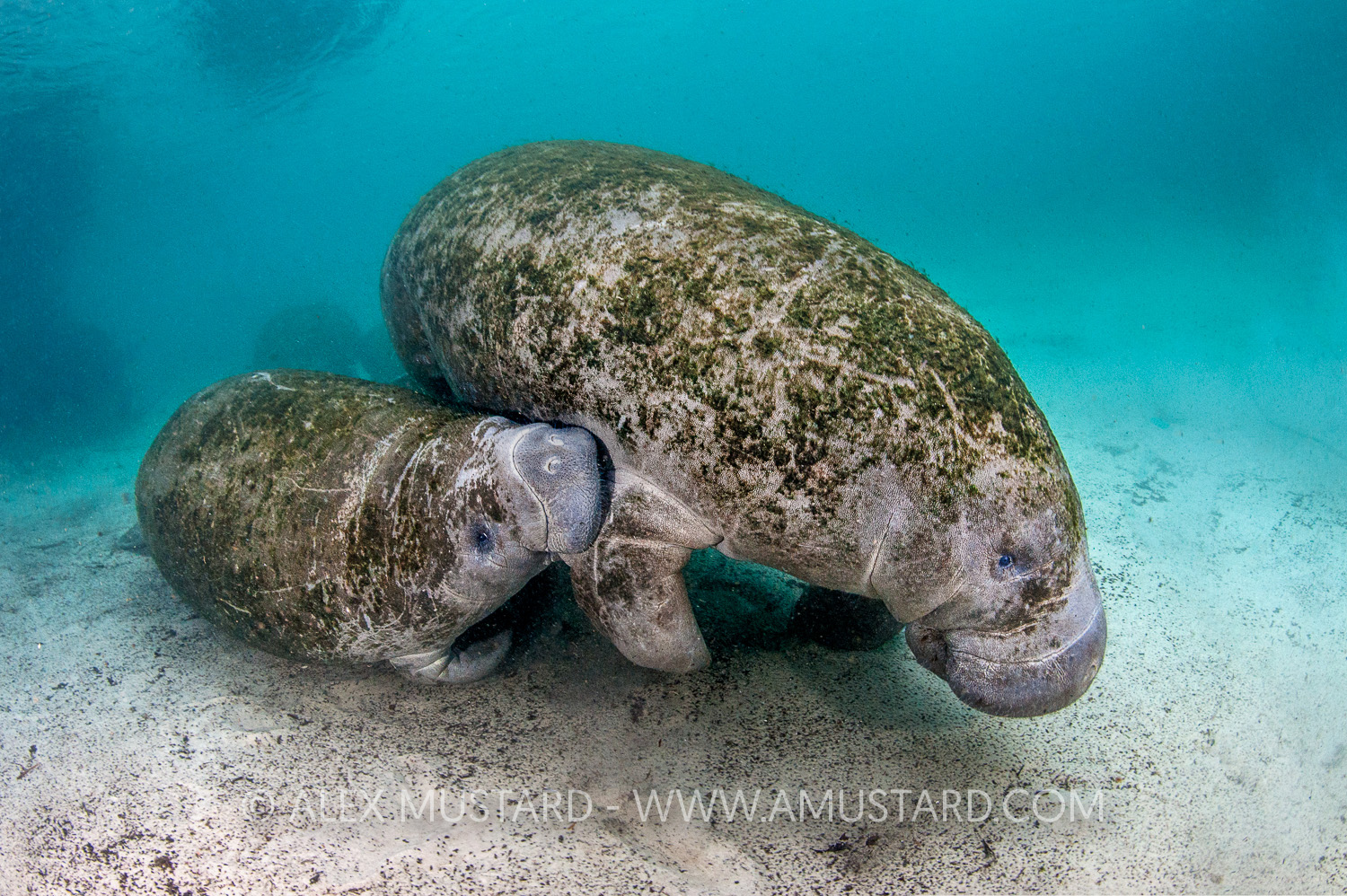 A baby Florida manatee (Trichechus manatus latirostrus) drinks milk from its mother. Three Sisters Spring, Crystal River, Florida, United States of America.