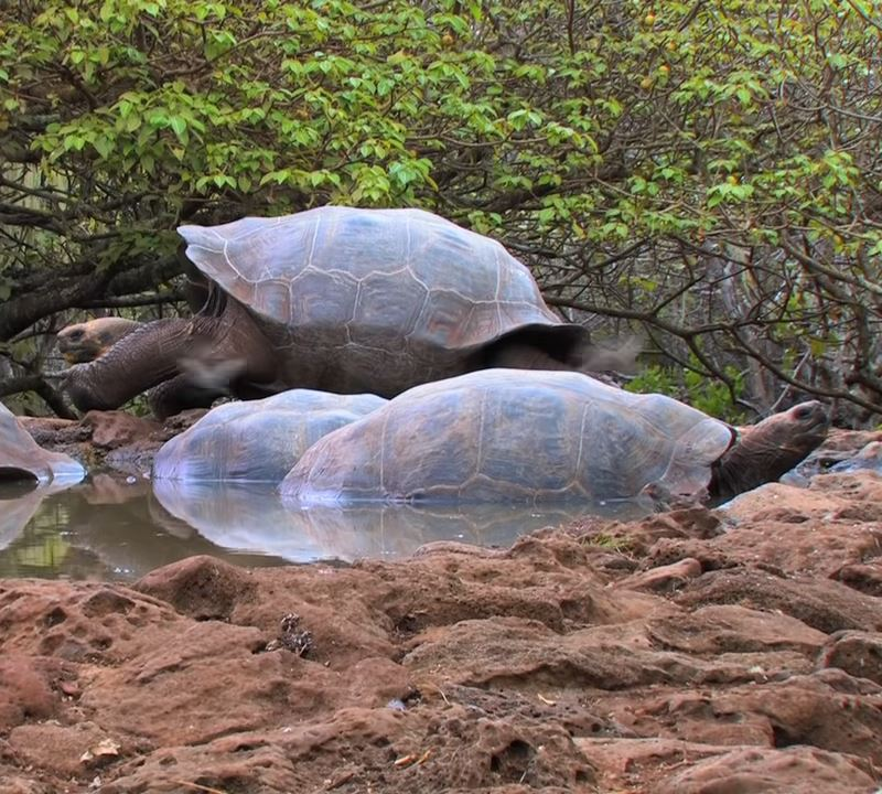 Galápagos-tortoises-resting-cooling-muddy-pool