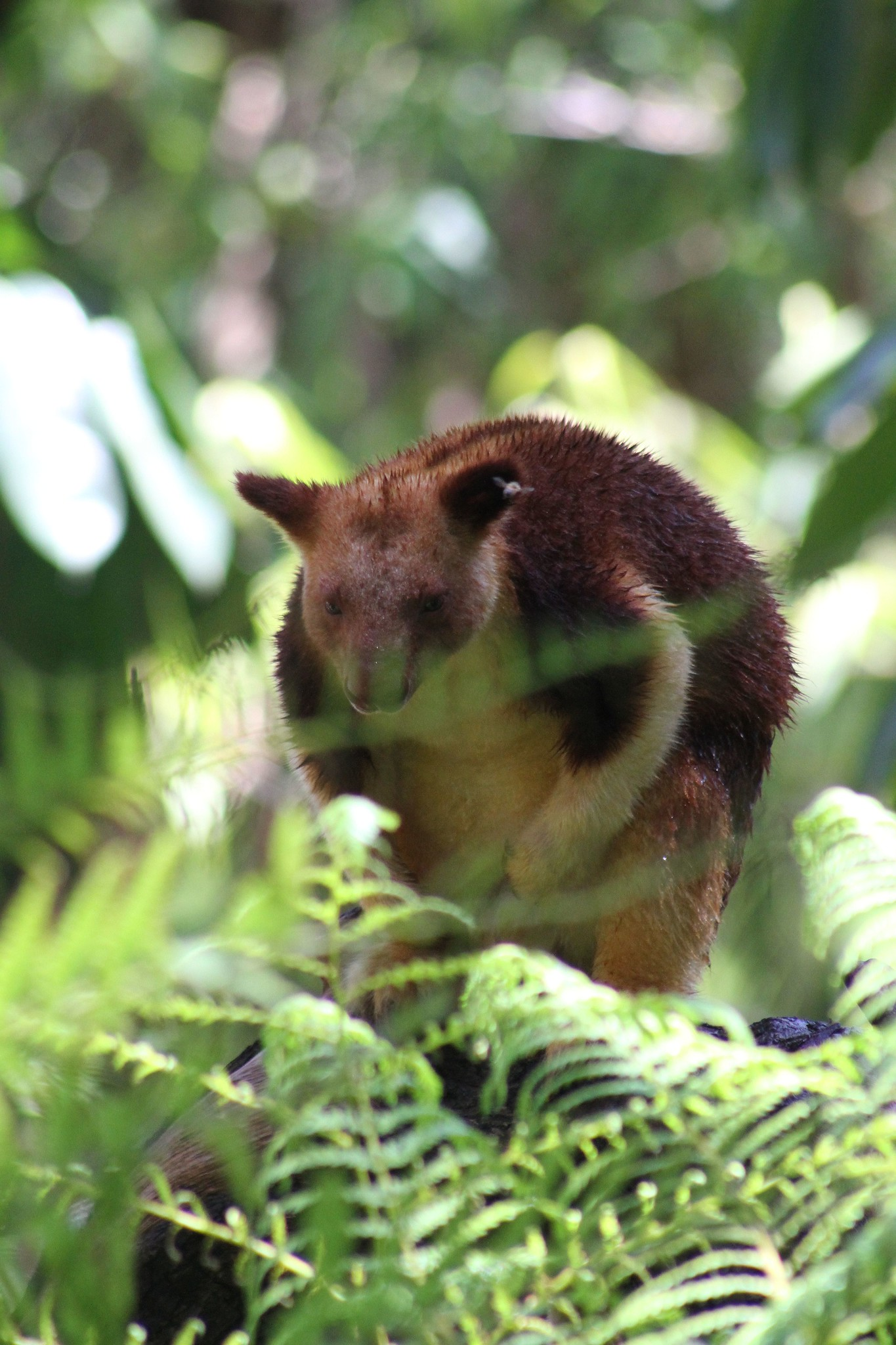 Goodfellow's-tree-kangaroo-Dendrolagus-godfellowi-montane-tropical-forest-habitat-loss-endangered