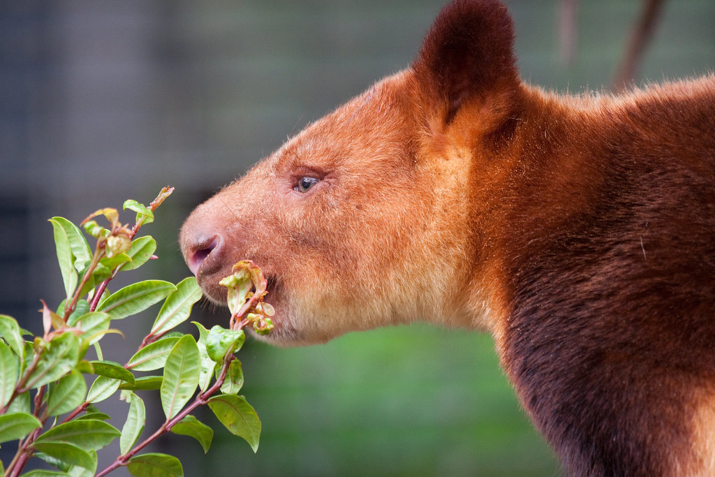 Goodfellow's-tree-kangaroo-New-Guinea-montane-tropical-forest-fauna