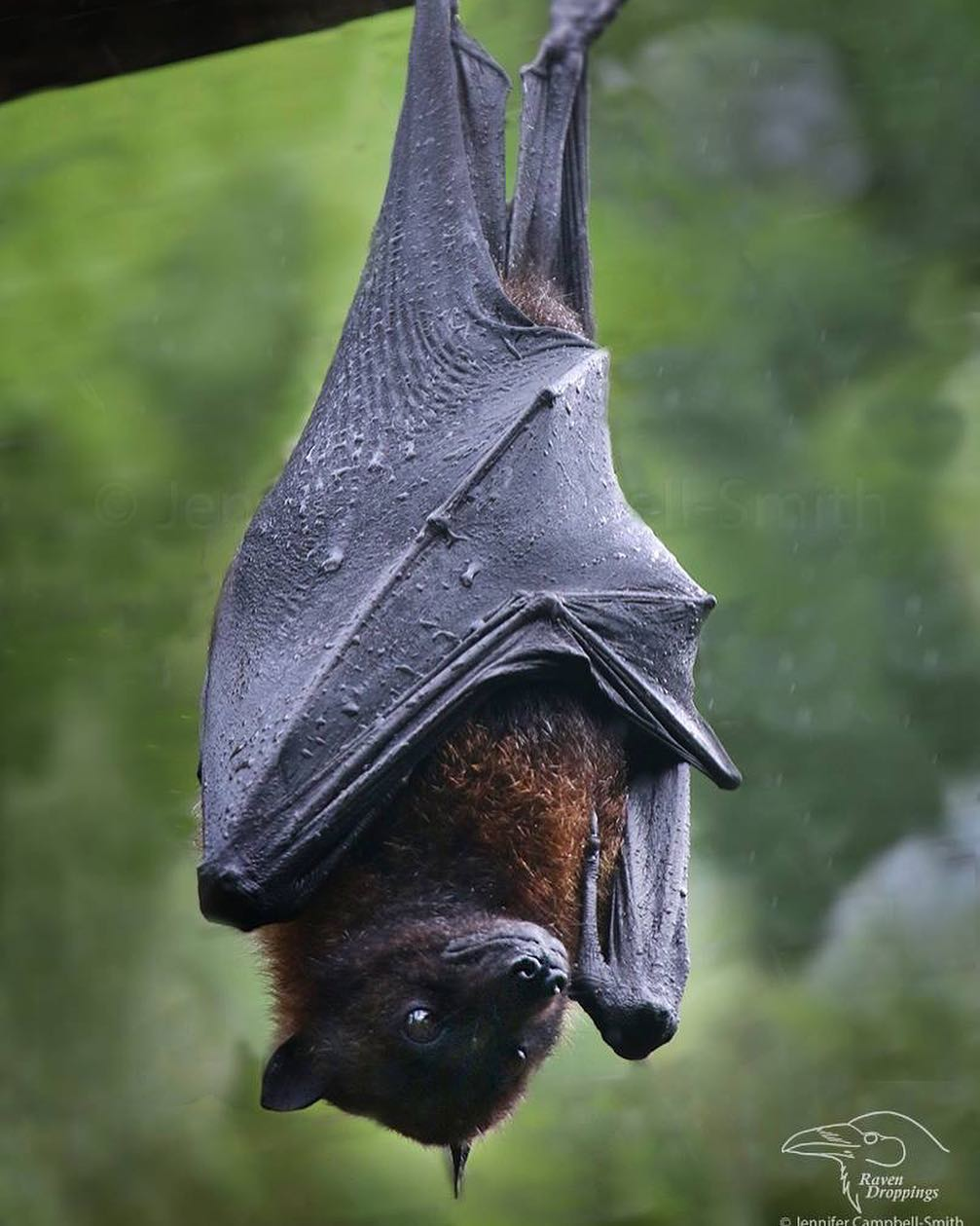 Mariana fruit bat endangered bats flying fox