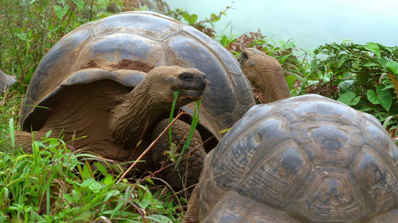 critically-endangered-Galápagos-giant-tortoises