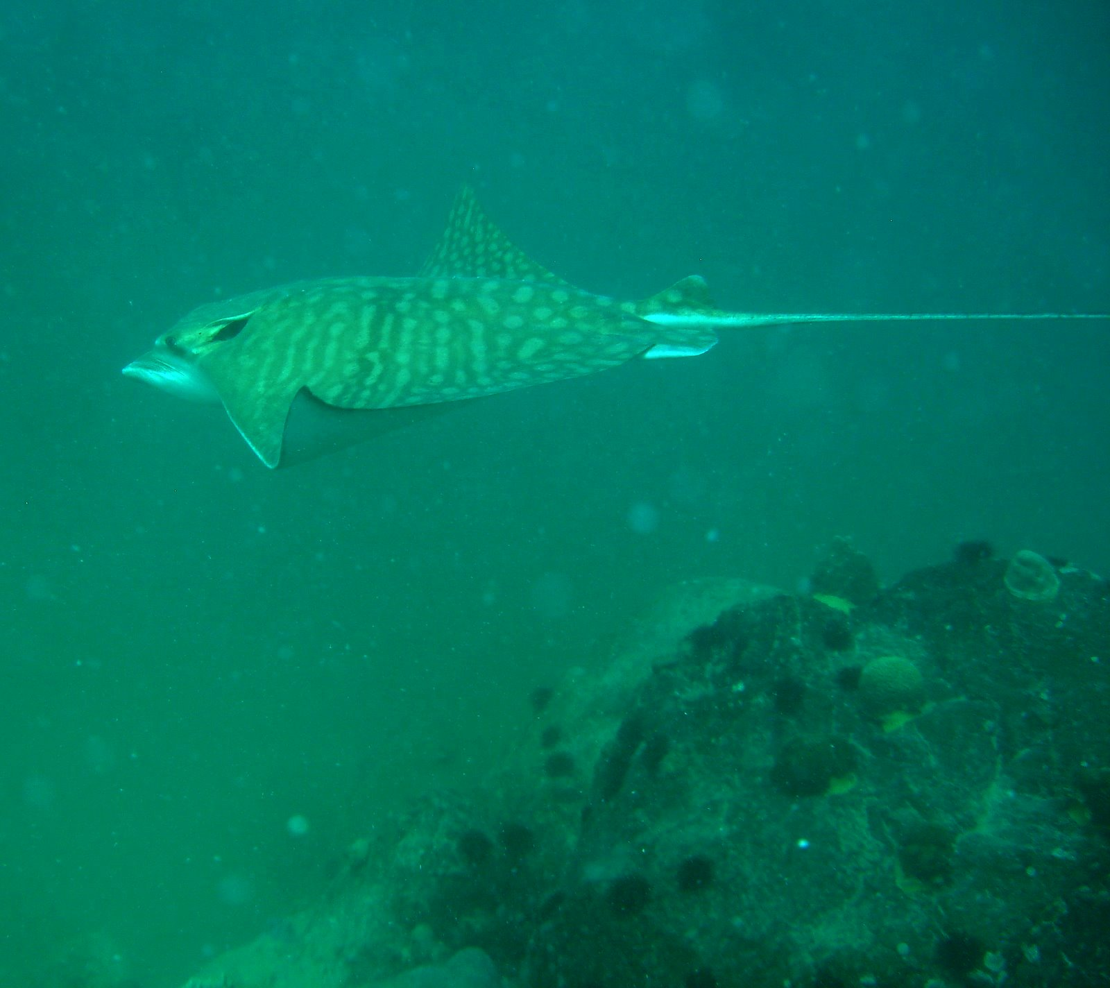 mottled-eagle-ray-Aetomylaeus-maculatus-endangered-marine-wildlife-fishing-nets