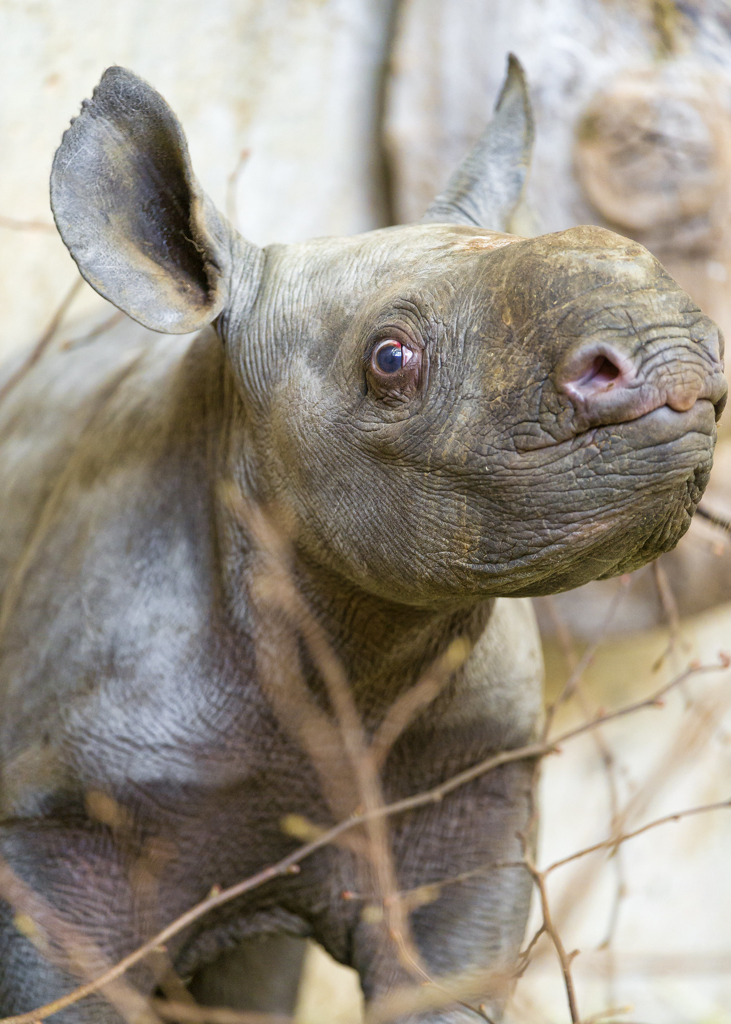rhino-baby-eastern-black-critically-endangered