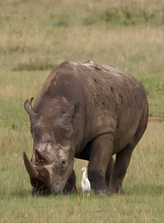 white-rhino-grazing-square-lip