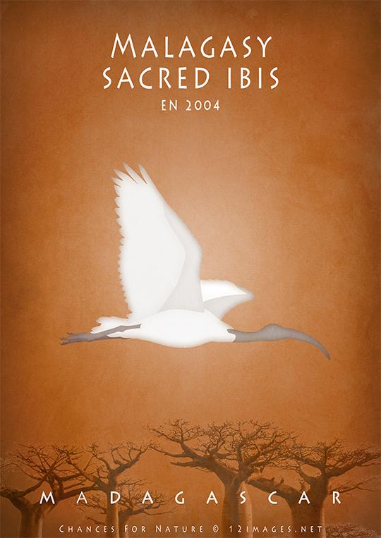 malagasy-sacred-ibis