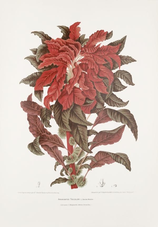 Amaranthus-tricolor-botanical-illustration-vintage-antique-print