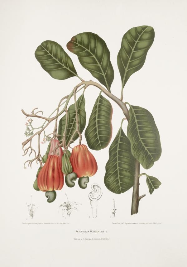 Anacardium-occidentale-botanical-illustration-vintage-antique-print