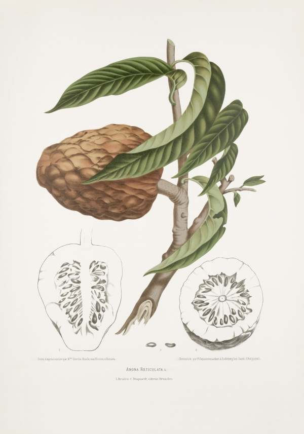 Annona-reticulata-botanical-illustration-vintage-antique-print
