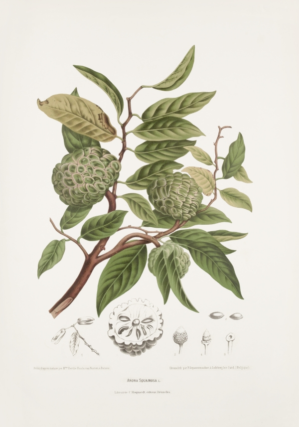 Annona-squamosa-botanical-illustration-vintage-antique-print