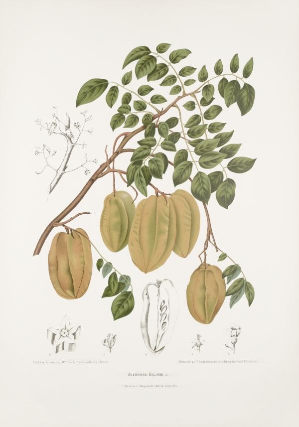 Averrhoa-bilimbi-botanical-illustration-vintage-antique-print