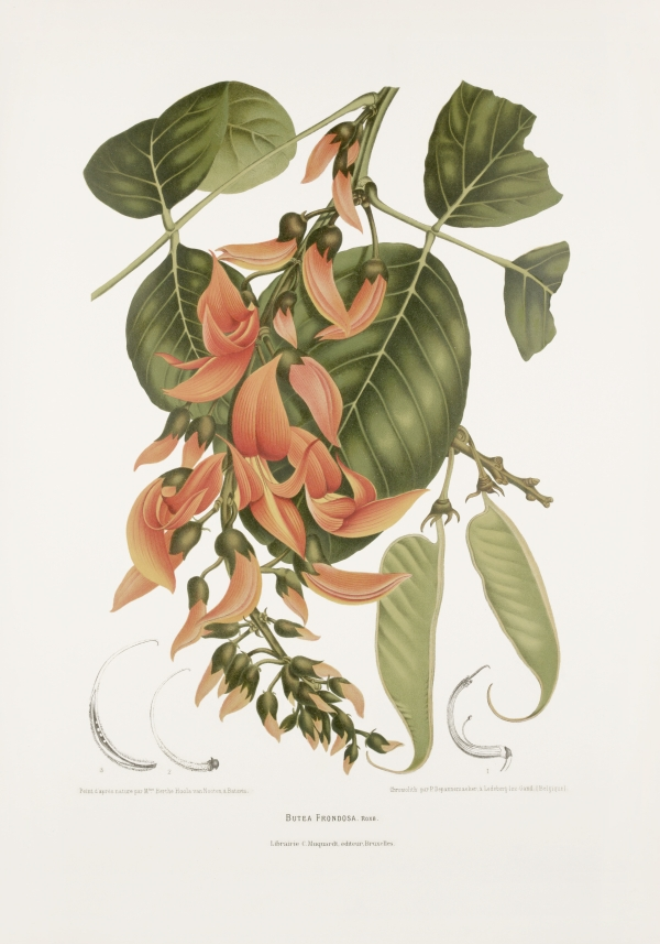 Butea-frondosa-monosperma-botanical-illustration-vintage-antique-print