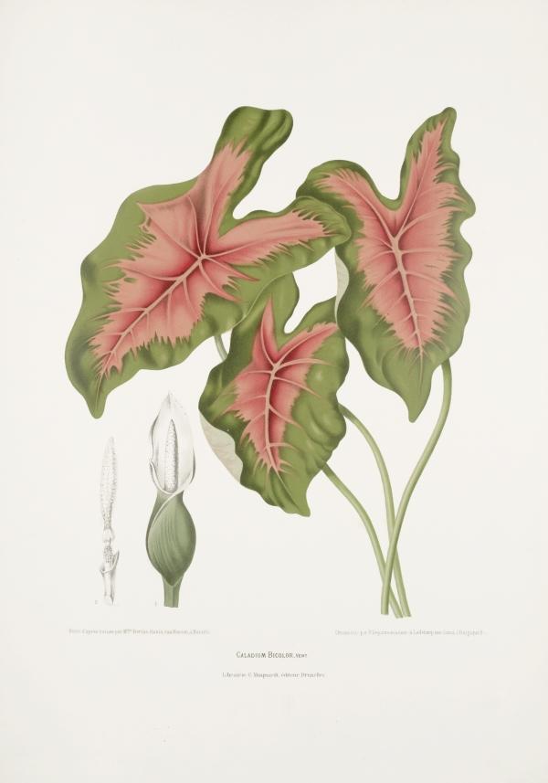Caladium-bicolor-botanical-illustration-vintage-antique-print