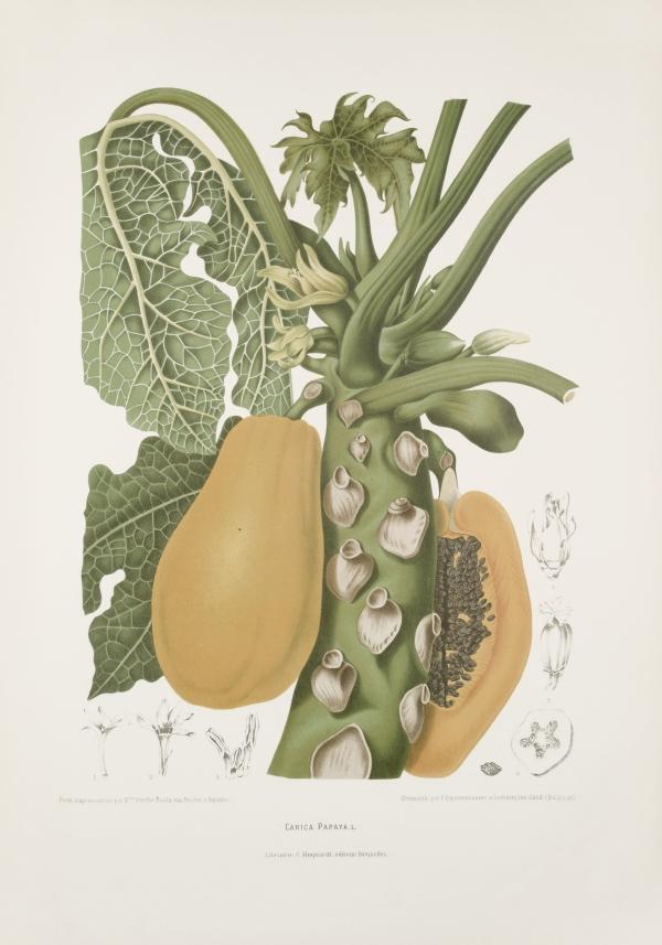 Carica-papaya-botanical-illustration-vintage-antique-print
