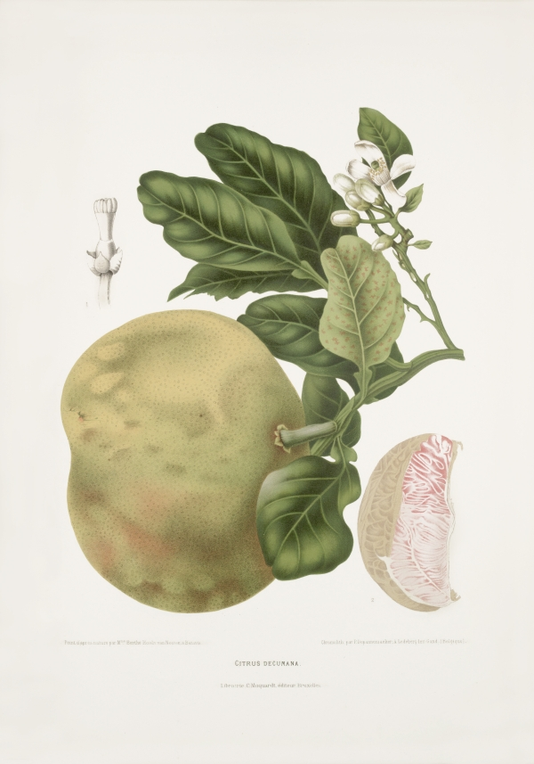 Citrus-decumana-botanical-illustration-vintage-antique-print