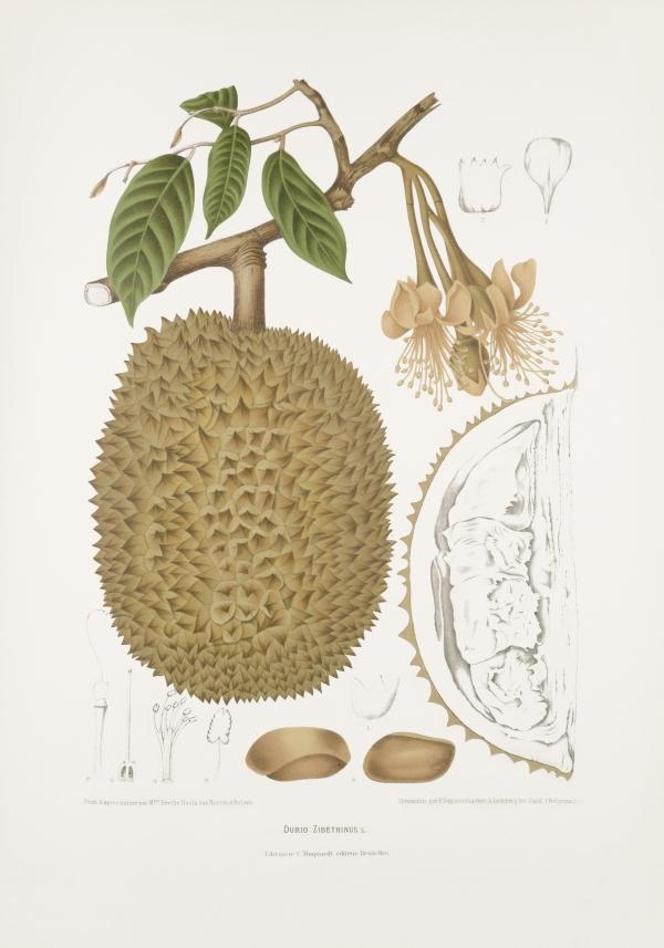 Durio-zibethinus-botanical-illustration-vintage-antique-print