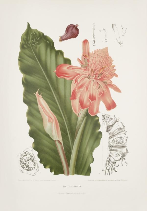 Elettaria-speciosa-etlingera-elatior-botanical-illustration-vintage-antique-print