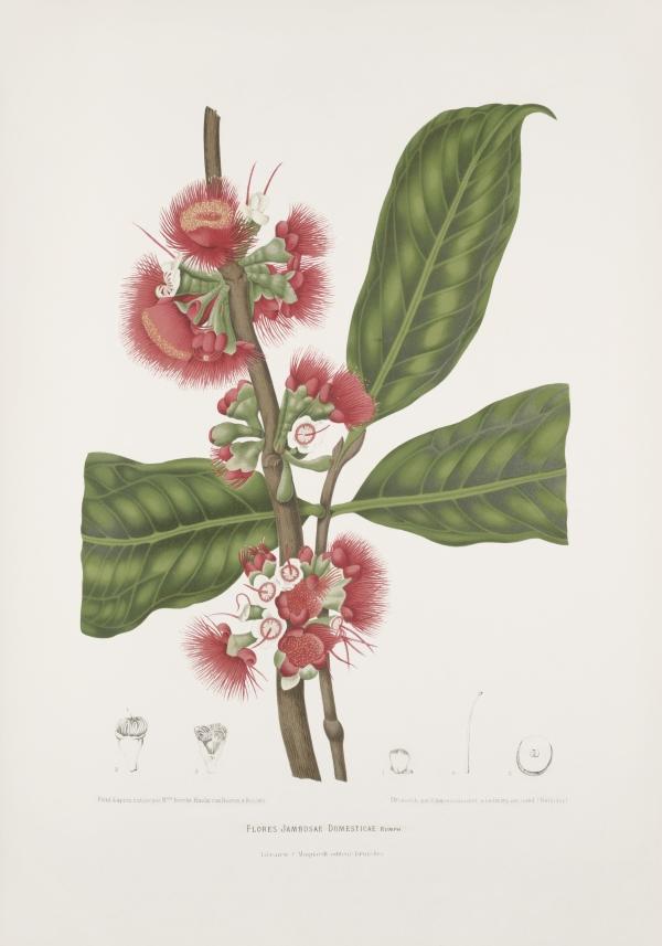 Flores-jambosa-domestica-Syzygium-malaccense-botanical-illustration-vintage-antique-print