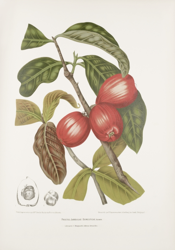 Fructu-jambosa-domestica-Syzygium-malaccense-botanical-illustration-vintage-antique-print