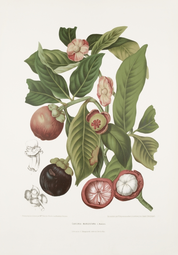 Garcinia-mangostana-botanical-illustration-vintage-antique-print