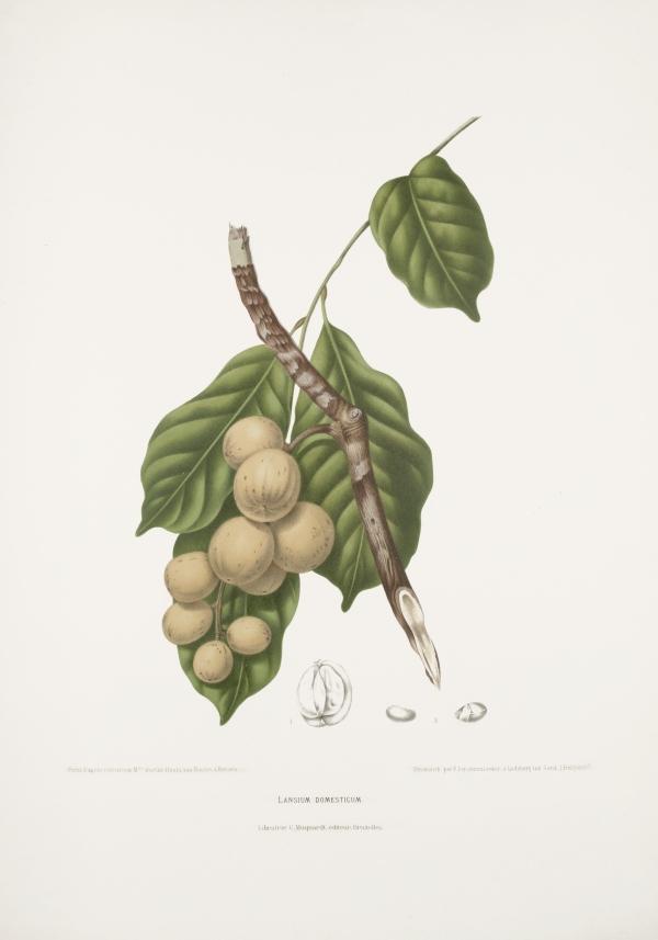 Lansium-domesticum-botanical-illustration-vintage-antique-print